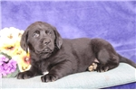 Picture of Michael MB  Cute Lab Puppies  RDY 3/13