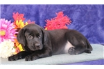 Picture of Kelsey cm America's Favorite Dog Black Lab Puppy