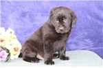 Picture of David  MB  Cute Black Lab Puppies  RDY 3/13