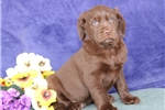 Picture of Violet MB  Cute Lab Puppies  RDY 3/13