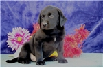 Picture of Connie cm America's Favorite Dog Black Lab Puppy