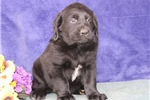 Picture of Tulip  MB  Cute Lab Puppies  RDY 3/13