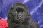 Picture of Leo  ee AKC Newfoundland Puppy