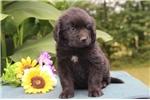 Picture of Herbert DZ  Black Male Newfoundland Puppy