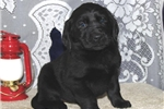 Austin  MB Newfie/Lab Mix Puppy Rdy 2/3 | Puppy at 8 weeks of age for sale