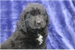 Picture of Jumbo ME  Black Newfoundland Puppy Rdy 3/13