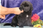 Picture of Lennie EE AKC Newfoundland