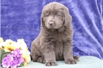 Picture of Clifford  ME Gray Newfoundland Puppy Rdy 3/13