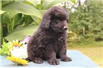 Picture of Teddy DZ  Black/White Male Newfoundland Puppy