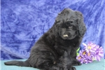 Picture of Flossie SS Gentle Giant Newfoundland Puppy