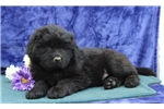Picture of Freddy  SS Gentle Giant Newfoundland Puppy