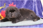 Picture of Jake EE AKC Newfoundland Puppy