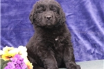 Picture of Sunshine  ME Black Newfoundland Puppy Rdy 3/13