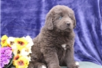 Picture of Molly ME  Gray Newfoundland Puppy Rdy 3/13