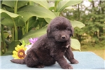 Picture of George DZ  Black Male Newfoundland Puppy