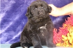 Picture of Patty EE AKC Newfoundland Puppy