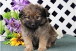 Smokey BE Male PomPoo Pup Rdy 8/20 Wt 2 lbs on 8/8 | Puppy at 8 weeks of age for sale