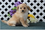 Picture of Misty B Female PomPooPup Rdy 8/20 Wt 21 lbs on 8/8