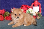 Picture of Lola  WH  Christmas Pomchi Puppy Ready Now