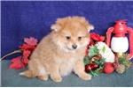 Picture of Chanel  WH  Christmas Pomchi Puppy Ready Now