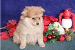 Picture of Diago   WH  Christmas Male Pomchi Puppy Ready Now