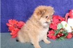Picture of Jubilee WH  Christmas Pomchi Puppy Ready Now
