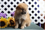 Picture of Blaze   AS  Very Cute Pom Puppy Rdy 8/15