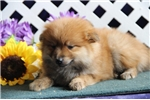 Picture of Benny   AS  Very Cute Pom Puppy Rdy 8/15