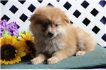 Picture of Billy  AS  Very Cute Pom Puppy Rdy 8/15