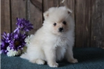 Picture of Pheonix   ES   Loving Pom Puppy Ready Now