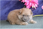 Picture of Anna  AS Bouncy Healthy Pomeranian Puppy RDY 3/21