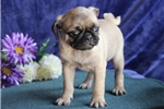 Picture of Sparky   JL  Healthy Funny Pug Puppy Rdy Now