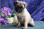 Picture of Candy   JL  Healthy Funny Pug Puppy Rdy Now