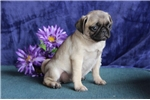 Picture of Annie   JL  Healthy Funny Pug Puppy Rdy Now