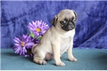 Picture of Emma  JL  Healthy Funny Pug Puppy Rdy Now