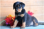 Picture of Junie  HL AKC All Healthy Litter Rottweiler Puppy