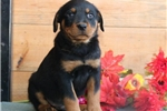 Picture of Goliath HL AKC All Healthy Litter Rottweiler Puppy