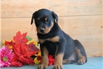 Picture of Jackie HL AKC All Healthy Litter Rottweiler Puppy