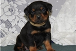 Border Terrier for sale