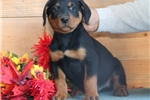 Picture of Dante HL AKC All Healthy Litter Rottweiler Puppy