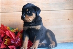 Picture of Penny  HL AKC All Healthy Litter Rottweiler Puppy