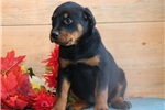 Picture of Tammy HL AKC All Healthy Litter Rottweiler Puppy