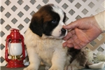 Picture of Ray EE  Healthy St Bernard Puppy Ready 1/11