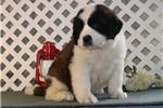 Picture of Brandy  EE  Healthy St Bernard Puppy Ready 1/11