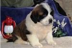 Picture of Jacob  EE    Gentle Giant  St Bernard  Puppy