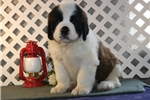 Picture of Ellie  EE Healthy St Bermard Puppy Ready 1/25