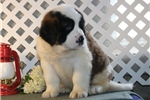 Picture of Susie  EE  Healthy St Bernard Puppy Ready 1/11
