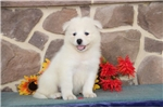 Picture of Barney MZ AKC Breathtakenly Beautiful Samoyed Pup