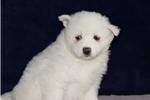 Picture of Yukon  MZ So Perfectly Beautiful Samoyd Puppy AKC