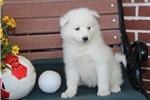 Picture of Ziggy   MZ Beautiful AKC Samoyed Puppy Rdy 09/05